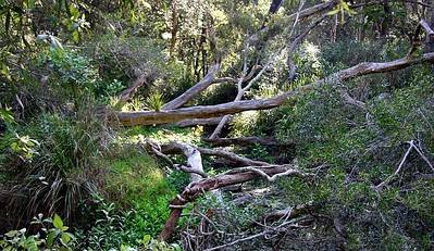 Fallen trees crisscross what is normally a creek - very dry.