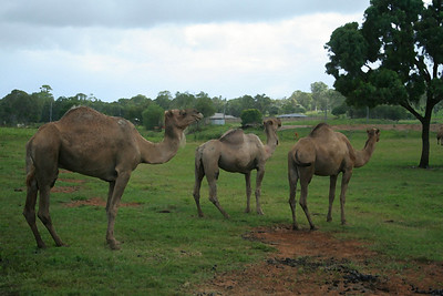 Sunday 17 February 2008 - Something different today - I was driving at Redland Bay when I spotted a camel paddock - not a common sight around here.  Unfortunately camels aren't in the habit of posing for the camera.  I fiddled with Photoshop filter - drybrush - I actually like the effect - hope you do too. I found out more about these camels - the owner takes them to shows and hires them out for rides.