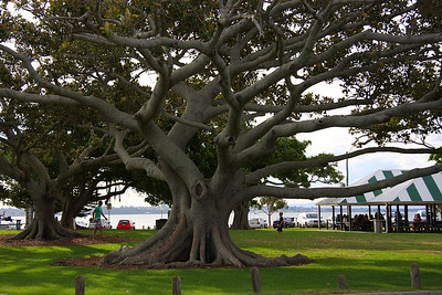 Beautiful tree branches in the picnic area at Wellington Point waterfront.