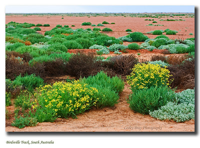 Wild flowers bloom after the 2010 rains on the South Australian side of the Birdsville Track through Sturt Stony Desert.  Photo taken in September 2010