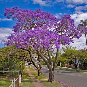 17 Oct 2008 - Jacaranda tree in bloom in the street where I work.