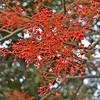 Illawarra Flame Flowers