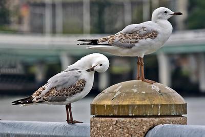 Juvenile Silver Gulls