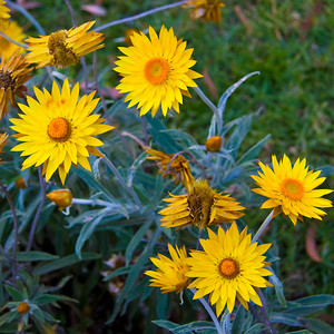Native Paper Daisies