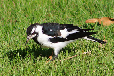 Magpie-lark commonly known as a Pee Wee on my front lawn