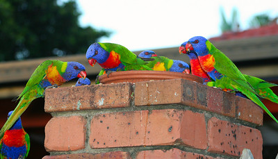 'Dinner Discussion' - Rainbow Lorikeets at Victoria Point.  Trichoglossus haematodus  February 2008