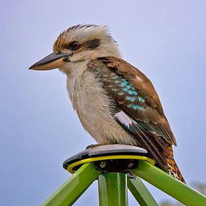 Laughing Kookaburra on my clothes line. The kookaburra is the largest member of the kingfisher family. Dacelo novaeguineae
