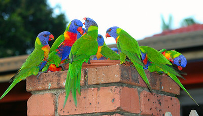 The Boss - Rainbow Lorikeets at Victoria Point, Queensland.  Trichoglossus haematodus  February 2008