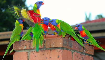 Thursday 21 February 2008 - Revisiting the Rainbow Lorrikeets - hope you don't mind.  My neighbour put out a plate of seed for them early this morning - I was lucky enough to capture this before I left for work.  Bossy boots (third from right) was squarking and pecking at the bird which you can see flying away - I love the colours in his underwing.
