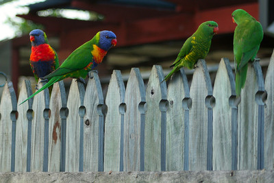 These guys are waiting patiently on the fence for their turn at the plate - the pair on the right are Scaly Breasted Lorikeets.
