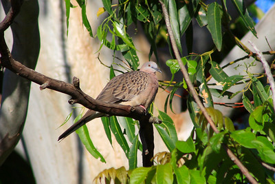 Sunday 23 March 2008 - Spotted Turtle Dove sitting high up in the gum tree next door - they sit on the TV antennae above my house and shite all over my roof - not impressed at all - Originally there were two around here and they nested in my pergola - there have been a lot more around since neighbour started feeding the lorrikeets.  These pesky birds also steal the dog's dry food.