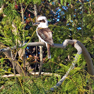 Saturday 18 October 2008 - Kookaburra in Tree - This is the same kookaburra as on my Avatar - he is friendly and often sits on my clothesline - he came to visit today and by the time I grabbed my camera he had flown high up into the tree next door - I am pleased with his photo as it was hand held with my long lens.  Dacelo novaeguineae  October 2008 - Victoria Point
