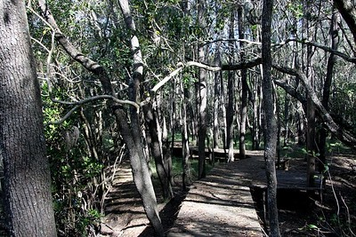 Boardwalk through mangroves.  Jacinda was here about 10 years ago, at that time  this boardwalk was completely surrounded by water. - she said it was beautiful.