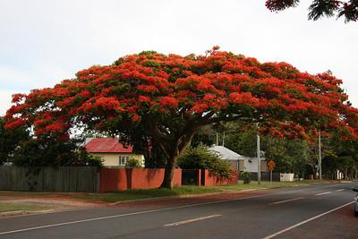 Royal Poinciana Tree at Wellington Point