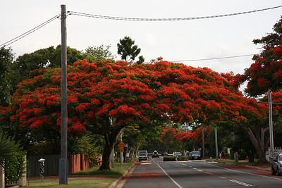 Canopy of Poinciana trees at Wellington Point