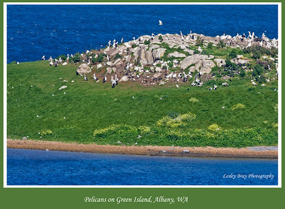 Amazing to see the hundreds of pelicans and other species on Green Island in Oyster Harbour, Albany, Western Australia.  Photo taken from Bayonet Head with 400mm lens.  Photographed October 2011 - © Lesley Bray - All Rights Reserved.