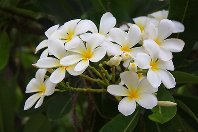 Many Broome streets are lined with beautiful native frangipani trees.