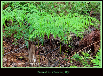 Green ferns found at Mount Chudalup near Windy Harbour, Western Australia