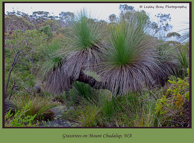 Grasstrees, Xanthorrhoea, or Black Boys on Mount Chudalup near Windy Harbour, Western Australia