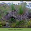 Grasstrees, Xanthorrhoea, or Black Boys on Mount Chudalup near Windy Harbour, Western Australia
