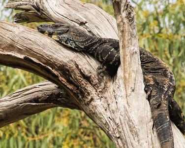 Australian Goannas, or Monitor Lizard