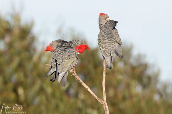 Gang-gang Cockatoos
