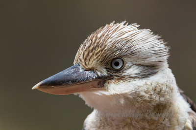 Blue-winged Kookaburra portrait