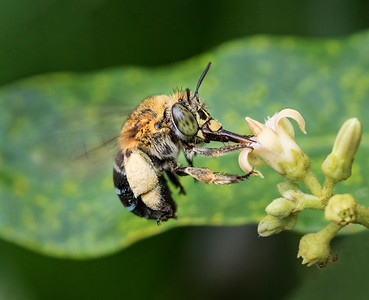 Blue-banded bee,female - 7428