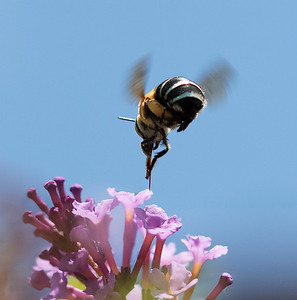 Blue- banded bee, female_9939