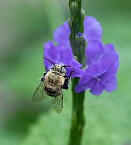 Blue-banded bee,male - 7570