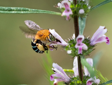 Blue-banded bee,female - 7292