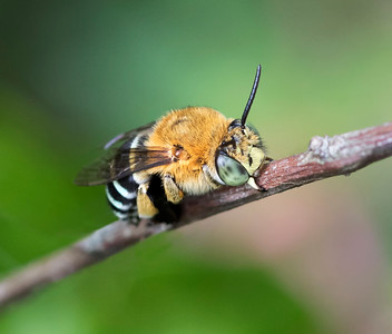 Blue-banded bee,male - 2734