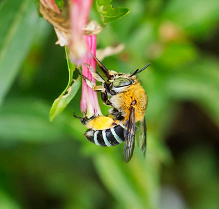 Blue-banded bee, young female - 059