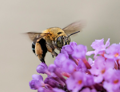 Blue-banded bee - 2020