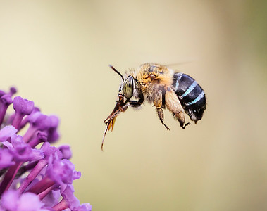 Blue-banded bee, female_033