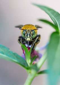 Blue-banded bee, female, facial marking_9078