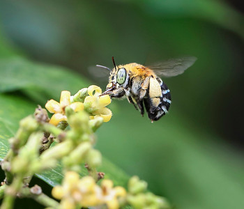 Blue-banded bee,female - 2088