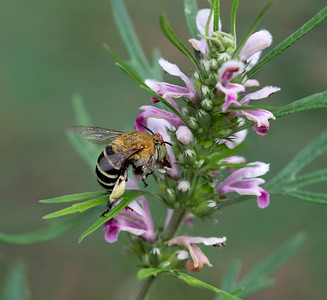Blue-banded bee - 1196