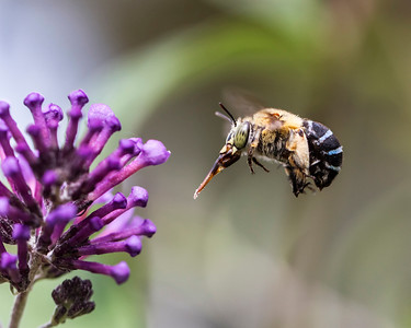 Blue-banded bee, female_096