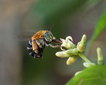 Blue-banded bee,female  - 2676