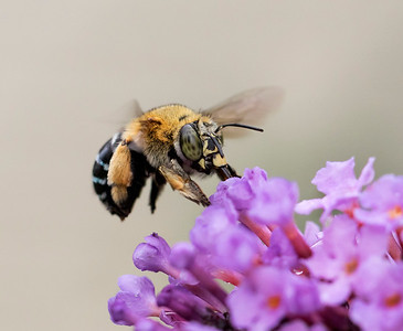 Blue-banded bee - 2019