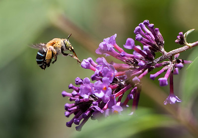 Blue-banded bee, female_9954