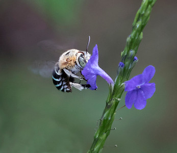 Blue-banded bee,male - 1601