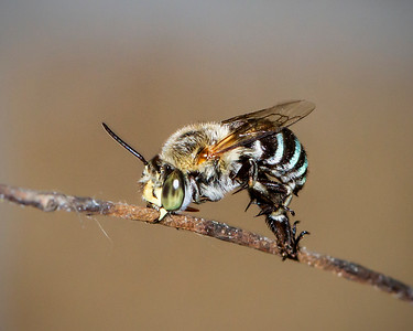 Blue-banded bee, male_7042