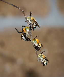 Blue-banded bees, males_7073
