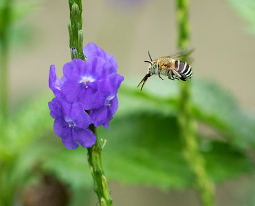 Blue-banded bee,male - 7608