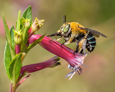 Blue-banded bee, female_056