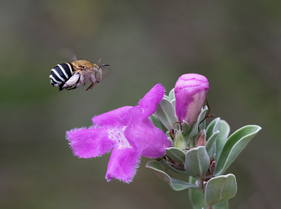 Blue-banded bee - 5318