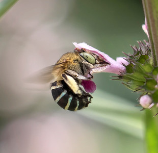 Blue-banded bee - 9863