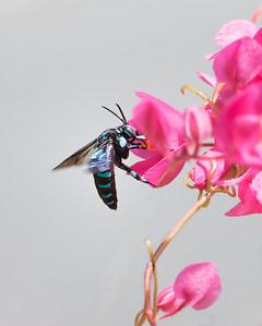 Neon Cuckoo bee - 9321